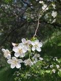 bird cherry branch flowers white flowers berries plant tree stock photography