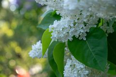 Blooming bird cherry in a city park royalty free stock images