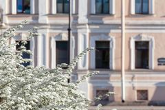 Blooming bird cherry in the sity. Blooming bird cherry on the background of a beautiful old historic building in an early sunny morning stock photo