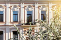 Blooming bird cherry in the sity. Blooming bird cherry on the background of a beautiful old historic building in an early sunny morning stock image