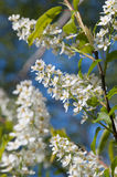 Blooming bird cherry tree in spring Royalty Free Stock Photo