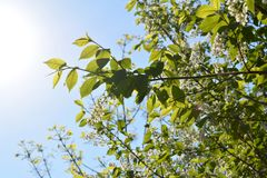 Blooming bird-cherry tree in sunny spring day. Branches with flowers and leaves. Beautiful nature scene stock images