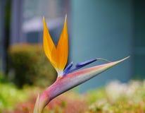 Blooming bird of Paradise flower Stock Photo