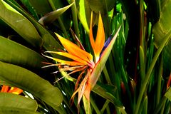 Blooming Bird of Paradise Plant royalty free stock images