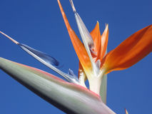 Blooming bird of paradise, Strelitzia Reginae close-up in front of blue sky. Macro Royalty Free Stock Image