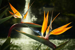 Blooming Birds of Paradise Stock Photos