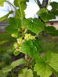 Blooming of black currant Stock Image
