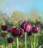 Blooming black double tulips Royalty Free Stock Photo