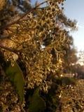 Blooming black elder bush in sunset Royalty Free Stock Photography