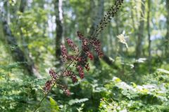 Blooming black false hellebore Veratrum nigrum L. on a green background in in a birch forest. Wild plant. Summer landscape. Blooming black false hellebore stock images