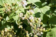 Blooming Blackberries stock images