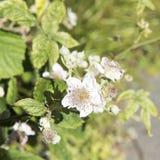 Blooming Blackberries royalty free stock image