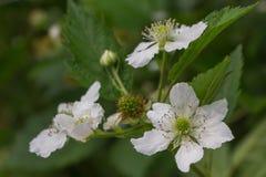 Blooming blackberry Stock Photos
