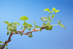 Blooming blackcurrant twig Royalty Free Stock Photos