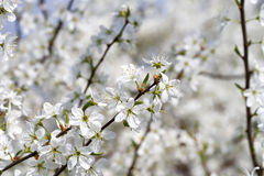 Blooming Blackthorn Prunus spinosa. Detail of a blooming blackthorn`s branch on bokeh background stock photo