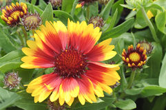 Blooming Blanket Flower. With buds Royalty Free Stock Photography