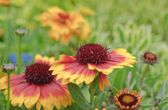 Blooming blanket flower in spring garden Stock Photos