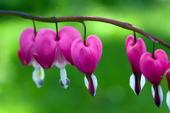 Blooming bleeding heart flowers in Spring garden Royalty Free Stock Photos