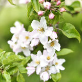 Blooming or blossoming apple tree with white and pink flowers Stock Photos