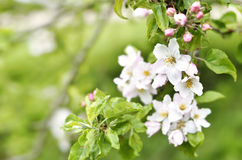 Blooming or blossoming apple tree with white and pink flowers Royalty Free Stock Photo