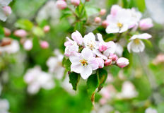 Blooming or blossoming apple tree with white and pink flowers Stock Photo