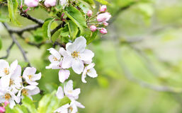 Blooming or blossoming apple tree with white and pink flowers Royalty Free Stock Images