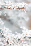 Blooming blossoms in spring season with bokeh background Stock Photos