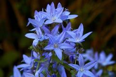 Blooming blue Adriatic bellflower in summer. Eblooming blue Adriatic bellflower in summer royalty free stock image