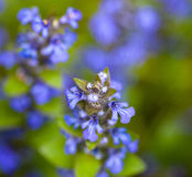 Blooming blue bugleweeds Royalty Free Stock Images