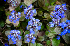 Blooming blue bugleweeds - Ajuga in the summer meadow Royalty Free Stock Photography