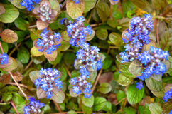 Blooming blue bugleweeds - Ajuga in the summer meadow Royalty Free Stock Photo