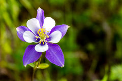 Blooming Blue Columbine Flowers stock images