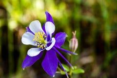 Blooming Blue Columbine Flowers Stock Image