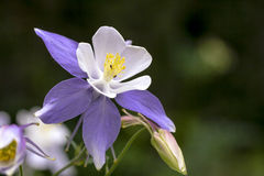 Blooming Blue Columbine Wildflower Royalty Free Stock Photo
