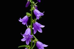 Blooming blue Creeping bellflower or rampion bellflower Campanula rapunculoides isolated on black background. stock images