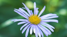 Blue daisies in the  garden. Blooming blue daisies with yellow in the garden on green background stock video