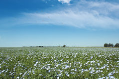 Blooming blue flax in a farm field Stock Photos