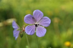 Geranium. Blooming blue geranium in the meadow stock images