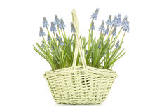 Blooming blue grape hyacinths in a green wicker basket Stock Photos