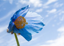 Blooming Blue Himalyan Blue Poppy Stock Images