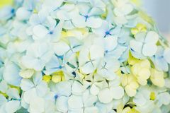 Light blue hortensia flowers. Blooming blue hortensia flower as a bouquet for a bride or wedding decoration stock photo