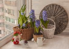 Hyacinths   on the window next to the watering can and gnome Royalty Free Stock Photos