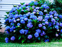 Blooming Blue Hydrangea. This Hydrangea bush has matured into a lush shrub with deep blue blooms Stock Photography
