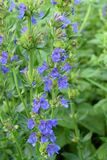 Blooming blue hyssop. In the garden, Summer royalty free stock photography