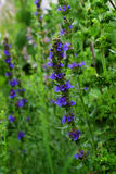 Blooming blue hyssop. In the garden, Summer stock images