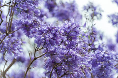 Blooming Blue Jacaranda Tree in Sydney Royal Botanic Gardens Royalty Free Stock Images
