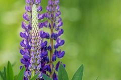 Blooming blue lupine Royalty Free Stock Photo