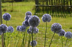 Blooming blue onions. Blue round inflorescence of blue flowers Allium caeruleum from Kyrgyzstan Stock Image