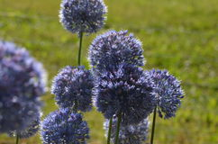 Blooming blue onions. Blue round inflorescence of blue flowers Allium caeruleum from Kyrgyzstan Stock Photography