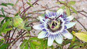 Blooming blue Passion Flower. Beautiful Passiflora Caerulea stock footage